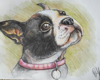 Boston terrier original colored pencil drawing size A4