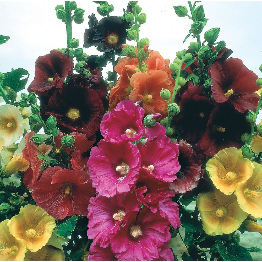 Hollyhock Colors