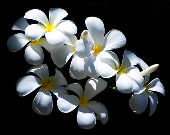 art print, wall decor, nature photography, home decor, fine art, floral, plumeria, flower, frangipani, tropical, white, yellow, maui, hawaii
