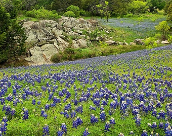 Rolling Hills of Texas Bluebonnets