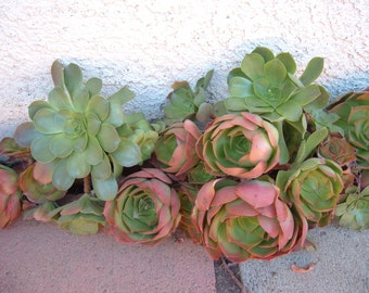3 Aeonium Succulents Drought Tolerant Plants Grow in Pots or Great Ground Cover