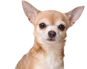 Chihuahua Notecards, FREE SHIPPING!