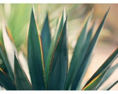 Agave - Nature Photograph - Succulent Photograph - Flower Photograph - Spine 6 - Fine Art Photograph - Alicia Bock - Green - Floral Art