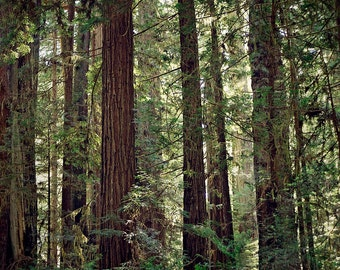 Redwood Trees, Forest Landscape Photography, Tree Photo, Woodland Decor, Nature, Green and Brown, Large Wall Art, California Redwood Trees