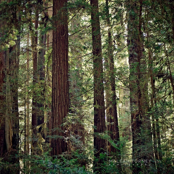 Landscaping With Redwood Trees : Redwood trees forest landscape photography tree photo woodland