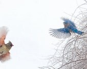 Bird Photography, Bluebird and Cardinal in Flight, Feathers, Wings, Winter, White Snow, Ice, Blue, Red 8x10, 11x14 - The Snowbirds Dance