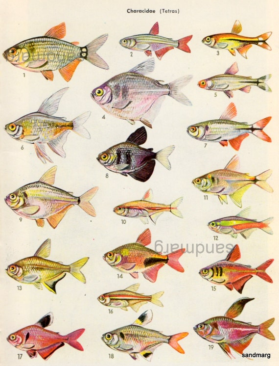 Vintage chart of 19 tetras characidae tropical fish for Types of tetra fish
