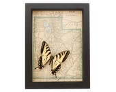 Vintage Framed Map of Utah with real native butterfly