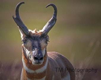 Antelope - Pronghorn - Pronghorn Buck - Antiocapra - Grazing Animal - Wildlife - Wildlife Photography - Fine Art Photography