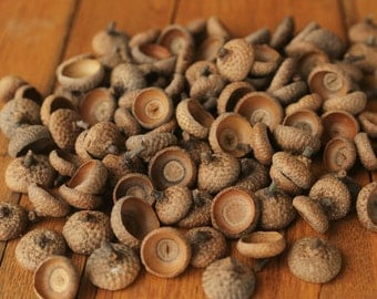 100 Large Natural Acorn Caps from Pennsylvania, Red Oak Acorn Caps