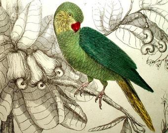 two 1860's ANTIQUE BIRD PRINTS,Parakeets,engravings,art,green,cranberry,yellow,blue,teal,orange