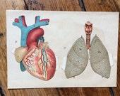 1902 HEART & LUNGS lithograph human anatomy pop up print original antique medical interactive 3D chart -