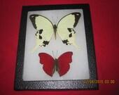 """5 x 7 """" riker mount filed framed mounted spread lepidoptera butterflies #zz18"""