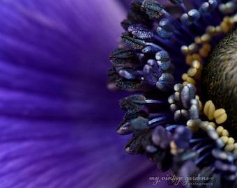 purple anemone -gorgeous -flower photography -flower -cottage garden photography (5 x 7 Original fine art photography prints) FREE Shipping)