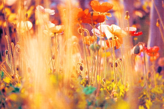 I am Alice, nursery wall art, poppy photograph, rainbow colorful flower photography spring garden, golden yellow red orange Wonderland