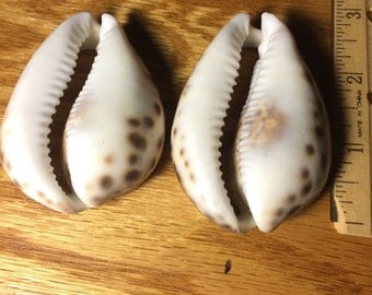 "Large Cowrie Shells (2) 2""- 2 1/2"""