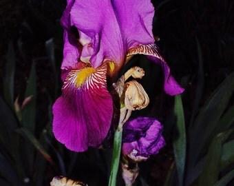 Purple Iris / Fine Art Photography