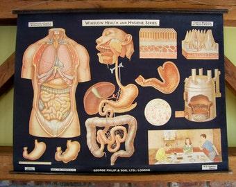 C. 1930's Classroom Anatomy Chart - Winslow Health & Hygiene - Digestion -Pull Down - Chalk Plate