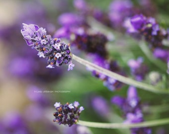 Flower  photography Spring decor Nature photography macro photography purple lavender home decor botanical Fine Art Print