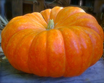 Cinderella Pumpkins Organic Heirloom Rouge Vif D'Etampes Pumpkin Seeds Rare French Seeds