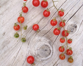 Spoon Currant Heirloom Organically Grown Gourmet Quality Outstanding Intensely Sweet Rare Tomato Seeds