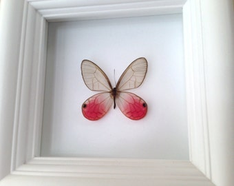 Real butterfly in shadowbox frame - Cithaerias Merolina - Butterfly Framed Art, Butterfly Decor, Framed Butterfly, Real Butterfly