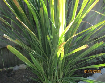 Lemon grass cuttings,cymbopogon citratus,grass family,citronella grass,silky heads,home and garden,backyard decor,perfume scent,flavorings
