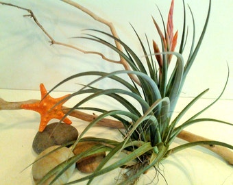 LARGE Air plant - Vernicosa - Bud - Flower air plant - Air plants - Terrariums - diy projects - Moss