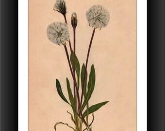 Slender Agoseris-Downloadable Vintage  Art Print -Victorian Flower Print
