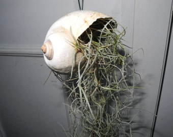Snail Shell Hanger with Greenhouse cultivated Spanish Moss- live plant