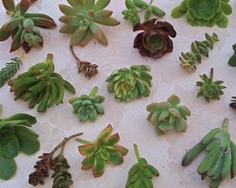 50 Succulent Cuttings, Wedding Favors, Party Favors, Succulent Garden