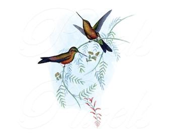 HUMMINGBIRDS Instant Download illustration for framing Digital Downloads, vintage illustration 104