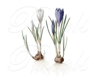 CROCUSES Instant Download digital clipart, wedding image, delicate spring flowers white blue crocus, digital download Redoute no.241