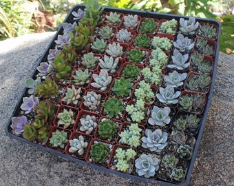 """130 Wedding collection Beautiful Succulents in their plastic 2"""" Pots great as Party Gift WEDDING FAVORS echeverias rosettes~"""