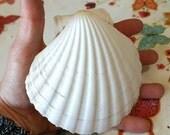BIG SUNRISE SHELL Sea Shell