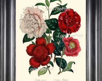 BOTANICAL PRINT Loudon Flower  Art 3 Beautiful Camellia Bouquet Red White Peach Coral Spring Nature Interior Design Picture to Frame
