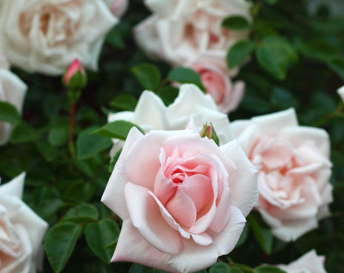 New Dawn Rose Plant Climbing Rose Bush Organic Grown Pink Climber potted - Own Root Rose Ships Now