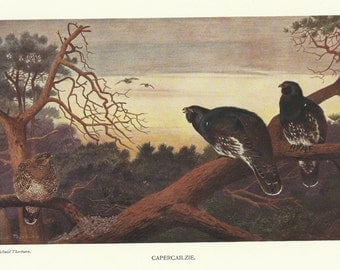 Capercaillie by Archibald Thorburn 1911 colour Bird Print Scottish Bird Print Wall Art Home Decor Vintage print
