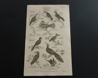 Antique birds engraving original 1829 old bird print of clade Avialae old b/w pictures about kingfisher humming hoopoe wryneck woodpecker