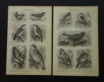 "Two original 1909 antique b/w prints with drawing pictures of singing birds - Passerines bird print - zangvogels size each: 15,5x24cm (6x9"")"