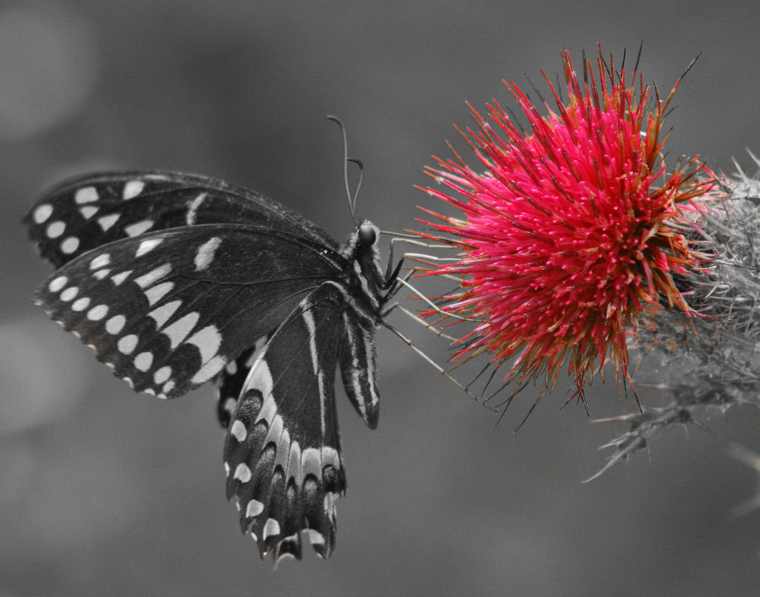 Black White And Pink Butterfly Photo Pop Of Color Photography