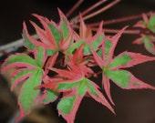 Live Shojo No Mai Pink RARE Japanese Maple Tree Graft Acer Palmatum Plant