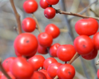 ON SALE Winterberry Plant Shrub 2015 Seeds