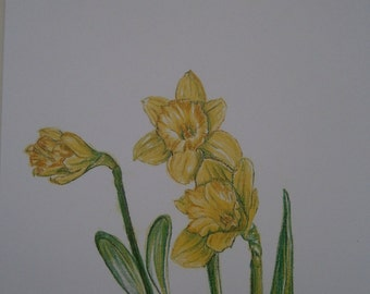 Limited edition colour print of my original Daffodils colour pencil drawing