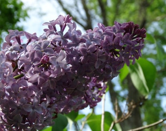 Art Photography, Purple Lilac Photo, Nature Art, Lilac Art, Portrait of Lilac, Nature Photo, Instant Download, Quality Print