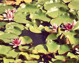 water lillies photo, Fine Art Photography, 8x8 inches, Flower Photography, water lily, lotus, photo print, lily pads, lilypad photo, lillies