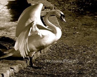 Black & White Swan (Photo on Canvas)