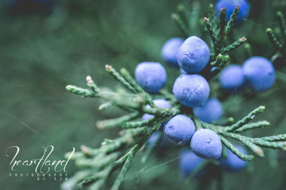 Winter Photography, Juniper Berry, Blue Wall Art Prints for Kitchen, Modern Photography, Cedar Tree Picture, Matte Art Prints for Bathroom