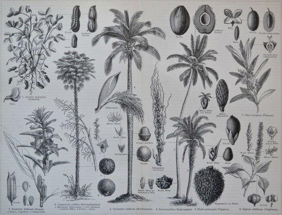 Plants that provides oils and fats.  Botany print. Old book plate, 1904. Antique  illustration. 111 years lithograph. 9'6 x  11'9 inches.