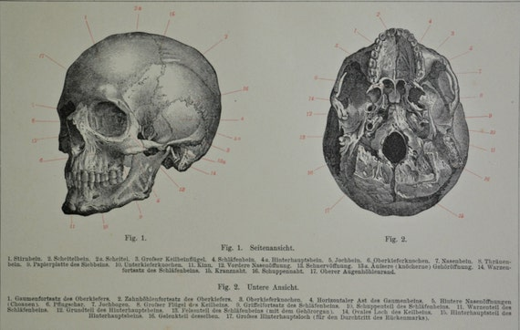Skull. Cranium.  Human anatomy print. Old book plate,1901. Sciences print. 114 years lithograph. 6'2 x 9'8  inches.